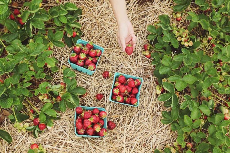Reife Erdbeeren in Schälchen auf Stroh