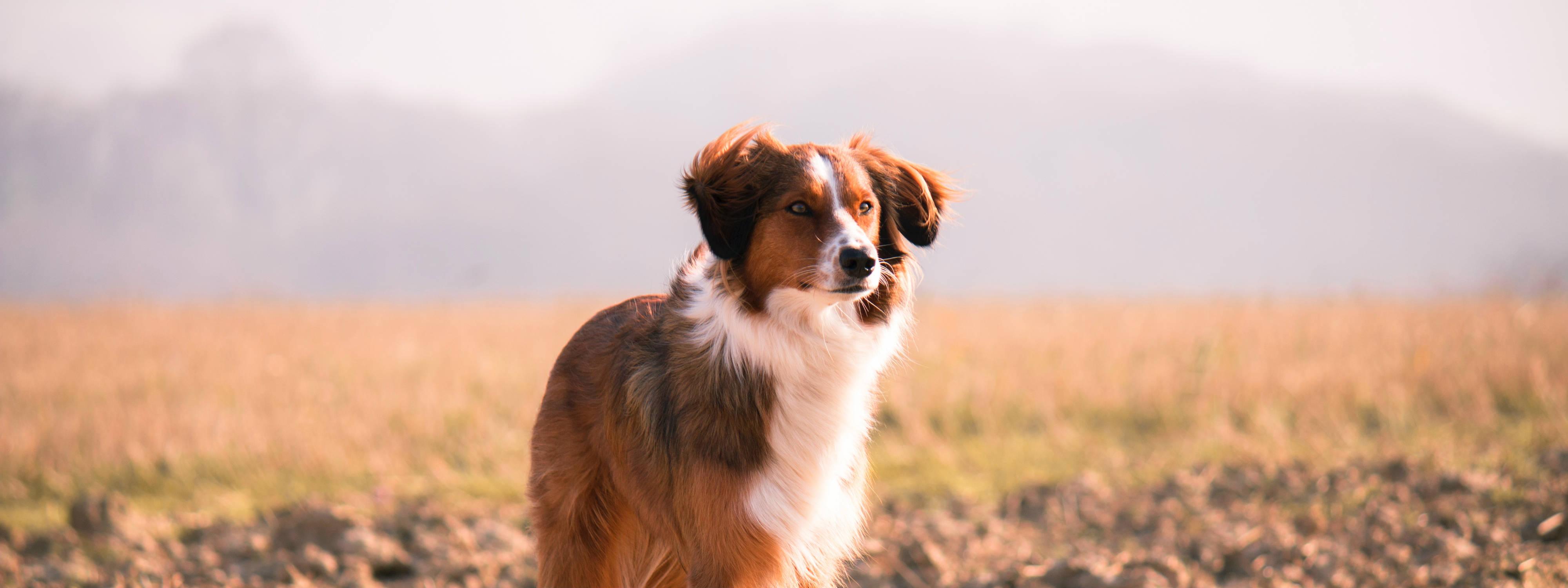 Die 7 besten Hunde-Versicherungen 2019: Ein Lassie schaut in die Ferne