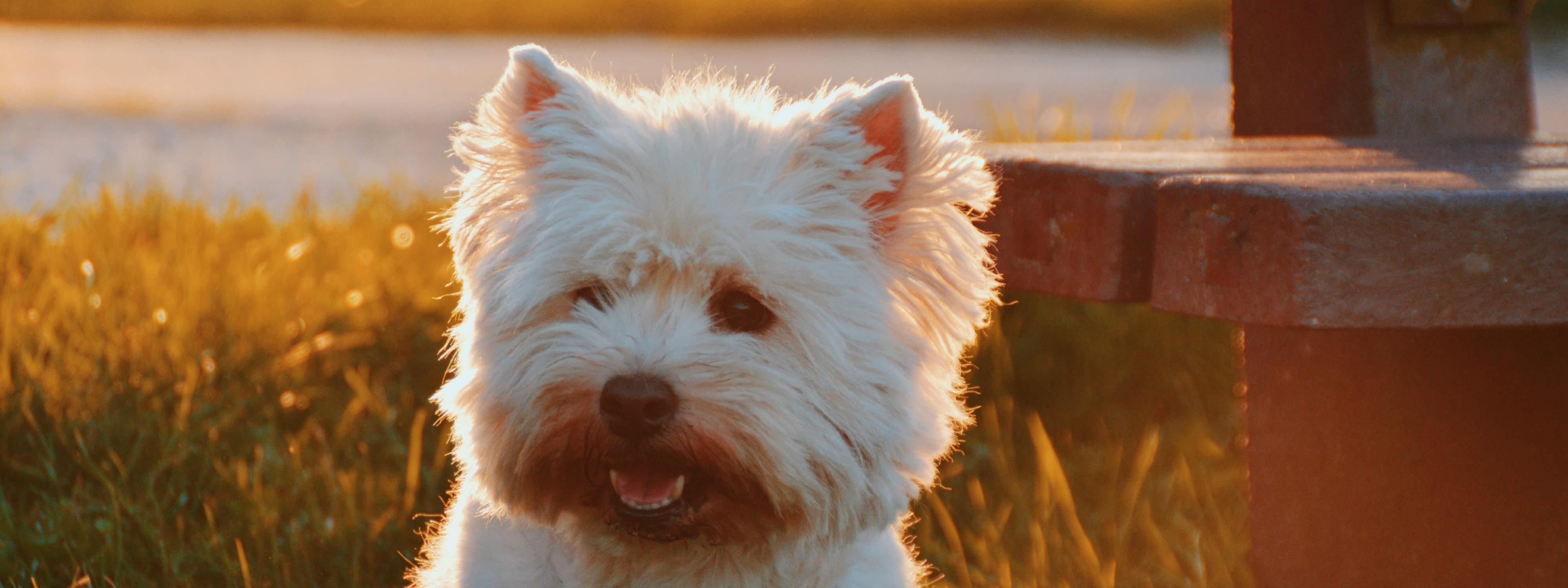 Die 7 besten Hunde-Versicherungen 2019: Ein Weisser Terrier schaut in die Ferne, im Hintergrund ein Sonnenuntergang