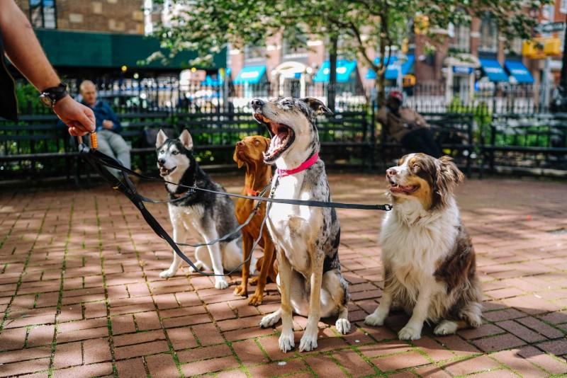 Vier Hunde an der Leine