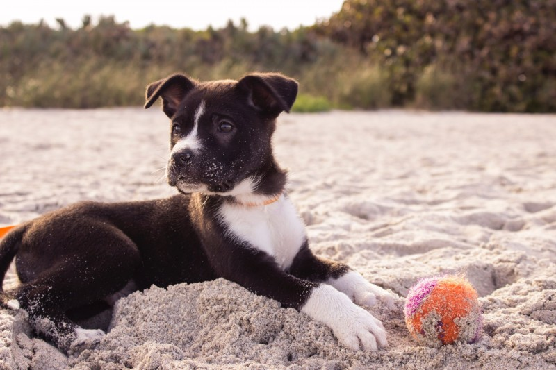 Kleiner schwarzer Welpe mit weißer Brust liegt am Stand im Sand mit einem kleinen Ball.
