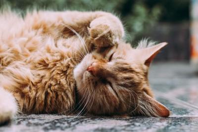 Kuschelige Katze liegt auf dem Boden mit der Pfote im Gesicht