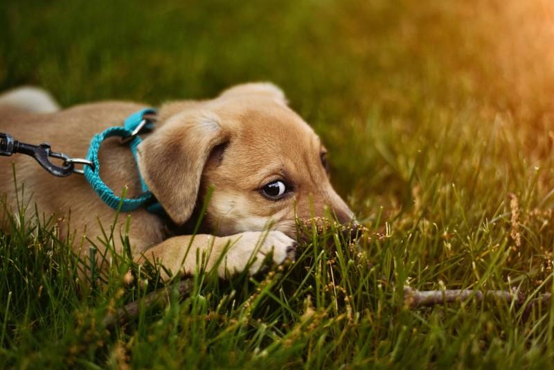 Kleiner Hund liegt auf der Wiese