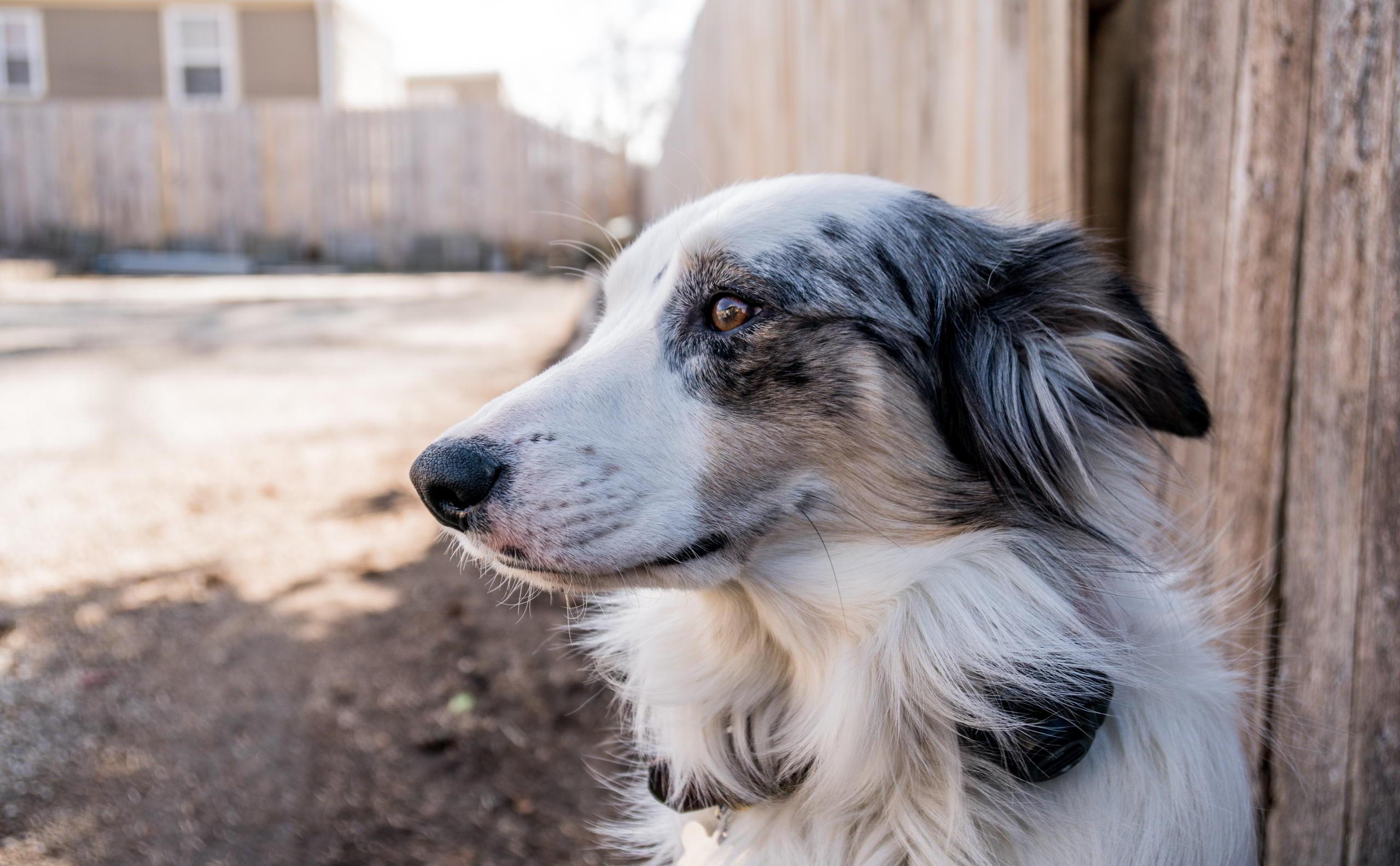 Ein heller alter Hund blickt in die Ferne