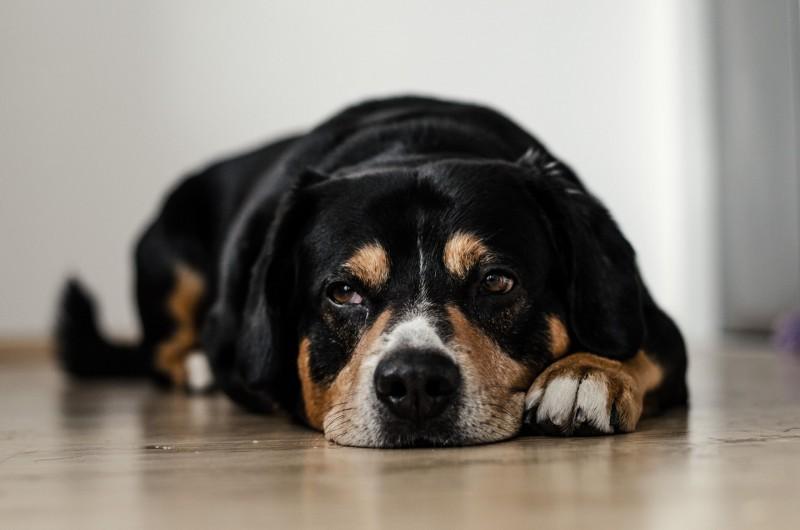 Großer Hund liegt entspannt auf dem Boden