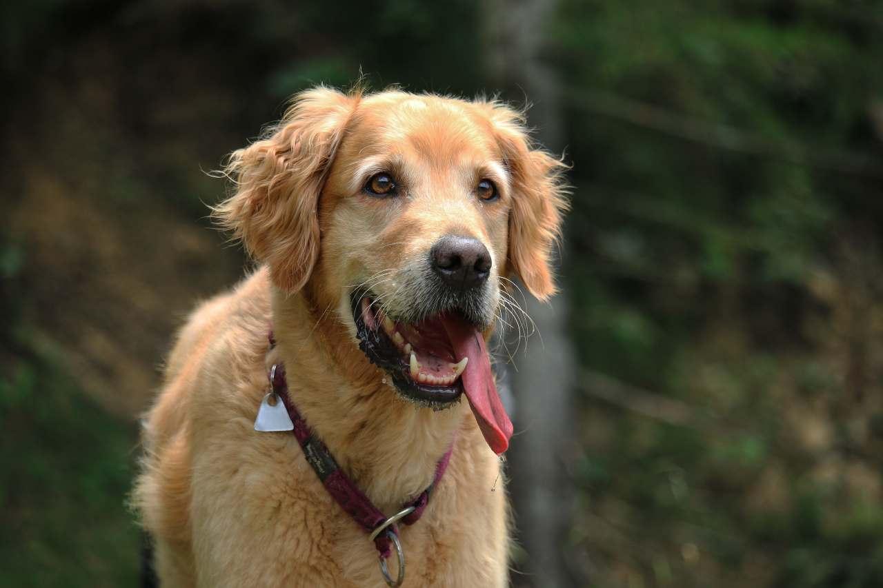 Goldener Hund mit Zunge aus dem Mund