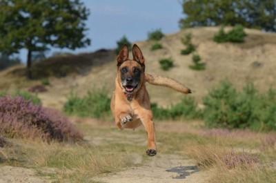 Belgischer Schäferhund läuft auf die Kamera zu.
