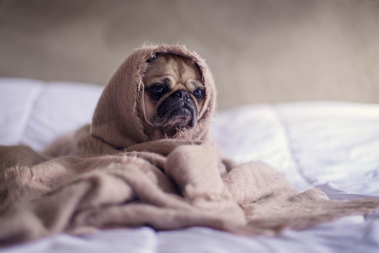 Hund (Mops), eingewickelt in eine Decke auf dem Bett.