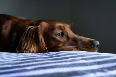 Hund liegt mit traurigem Blick im Bett.