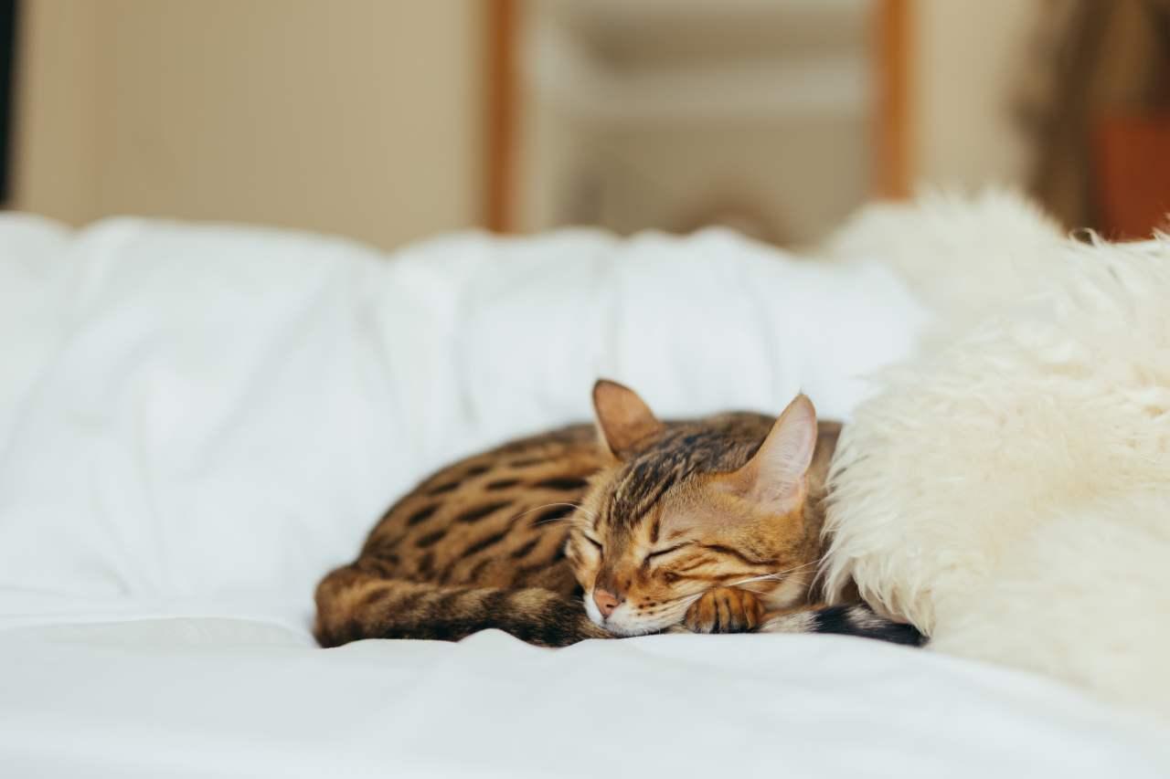 Katze liegt auf dem Bett und schläft.