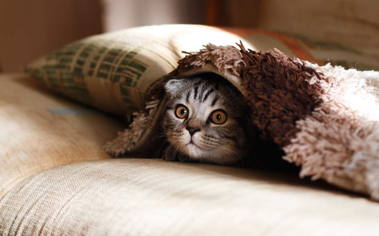 Katze schaut unter einer Decke hervor.