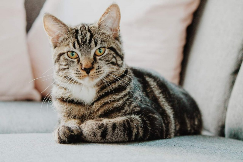 Katze liegt auf der Couch und schaut in die Kamera.