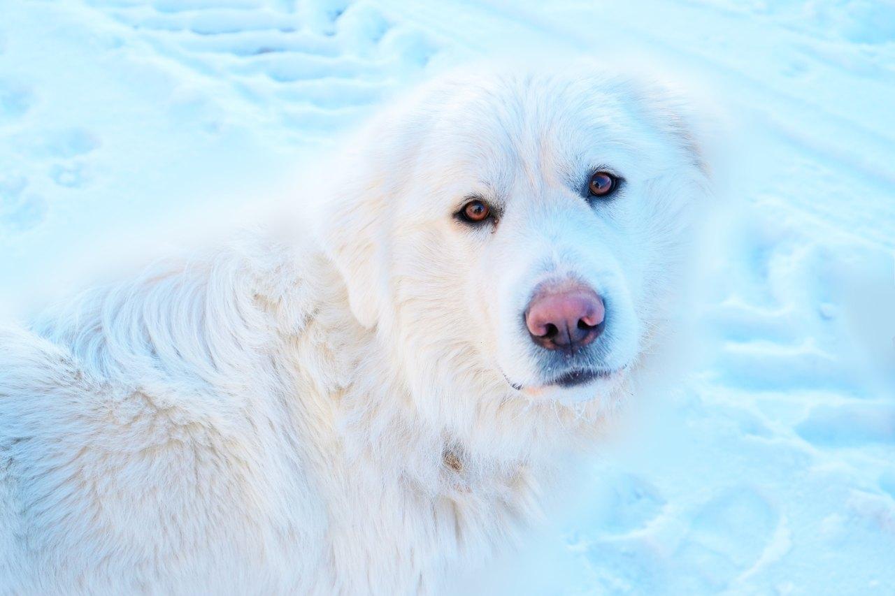 Wie übersteht Dein Vierbeiner die kalte Jahreszeit am besten: Weißer Hund im sitzt im Schnee.
