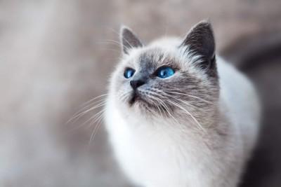 Weiße katze mit blauen Augen.