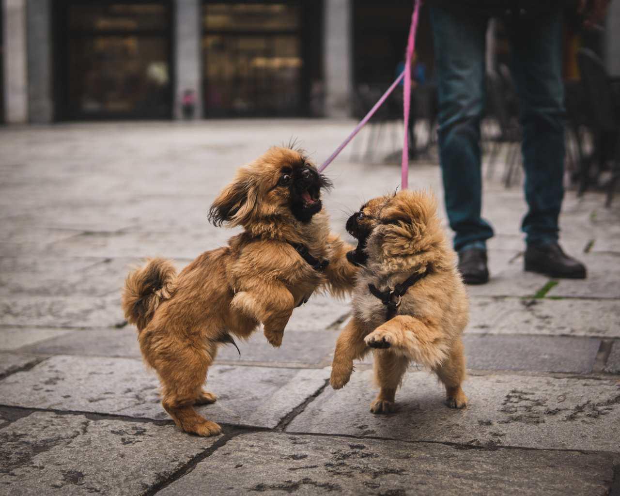 Kleine Hunde spielen miteinander.