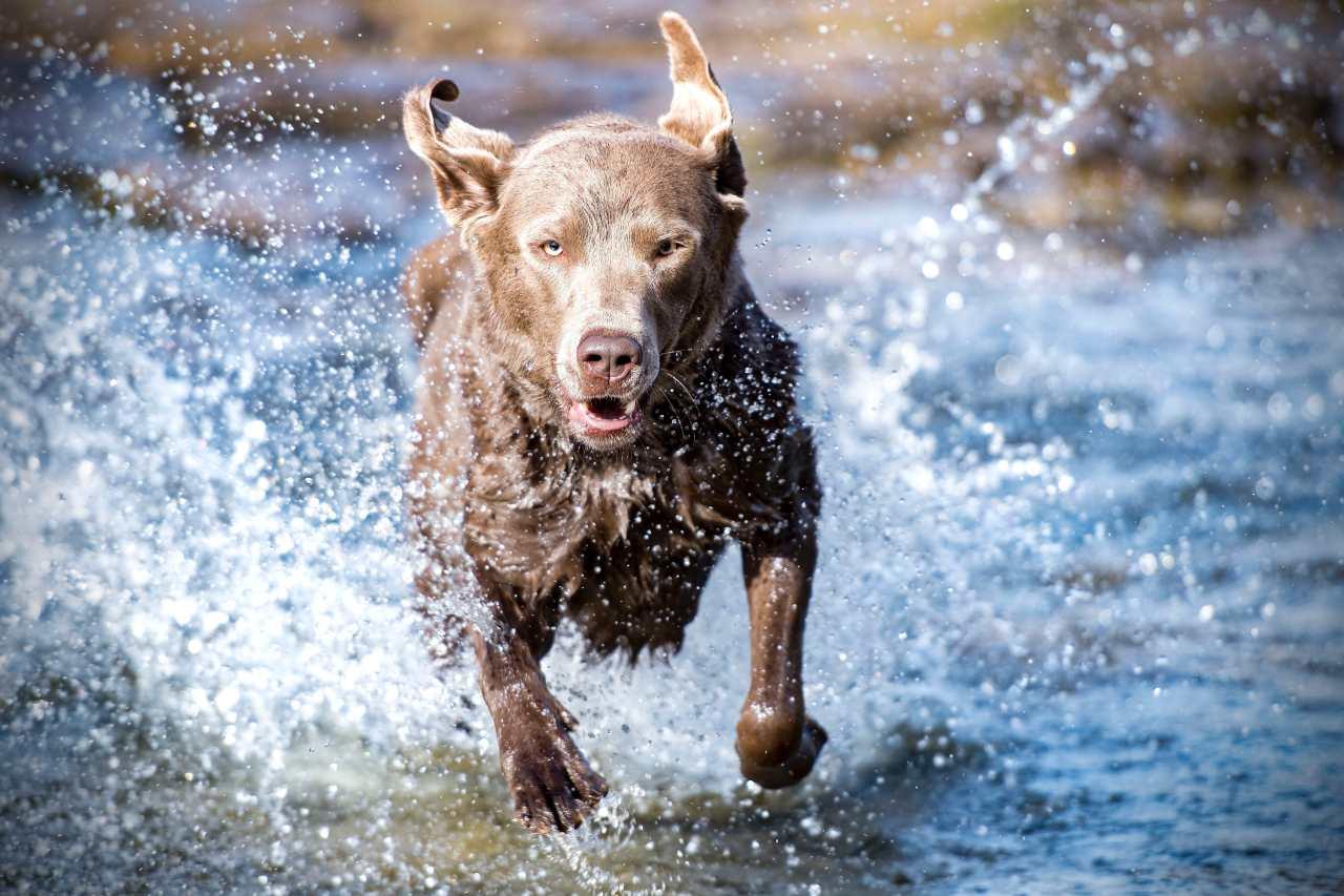 Hund rennt im Wasser.