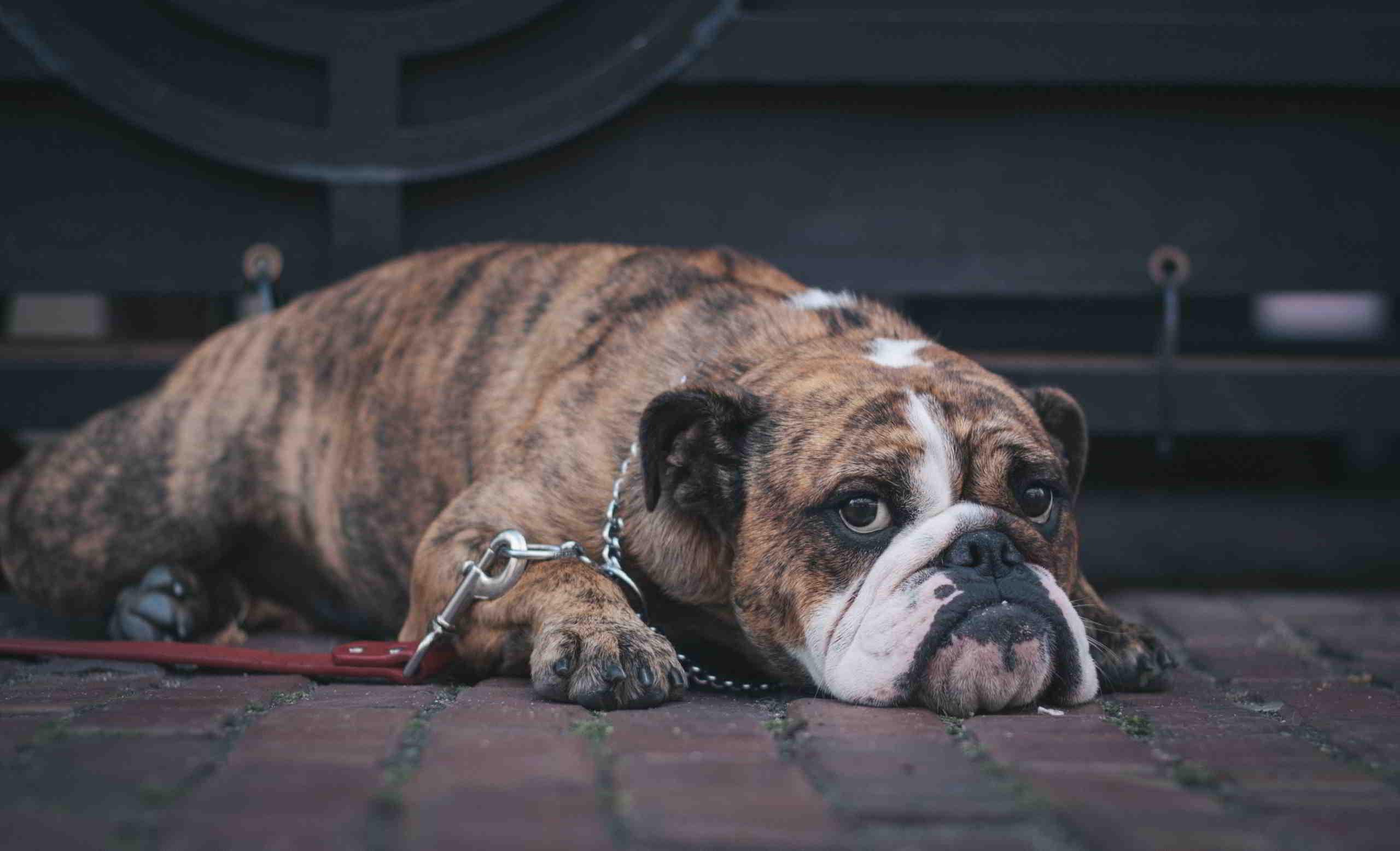 Hundebetreuung: Süßer Hund liegt entspannt auf dem Boden