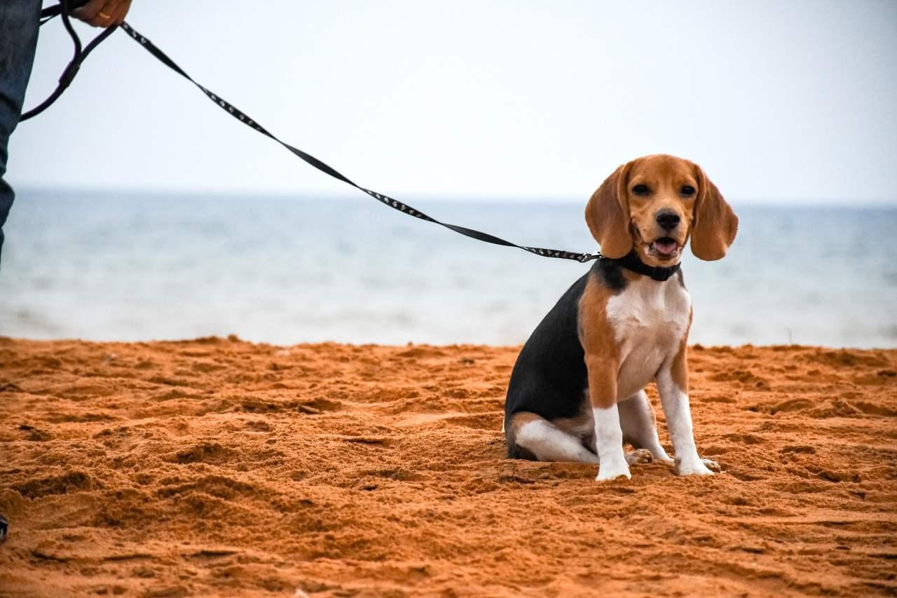 Beagle Welpe sitzt am Strand.