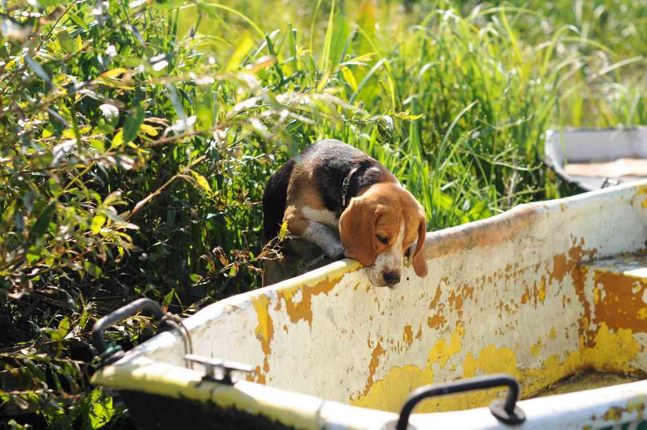 Beagle schaut in eine Badewanne rein.