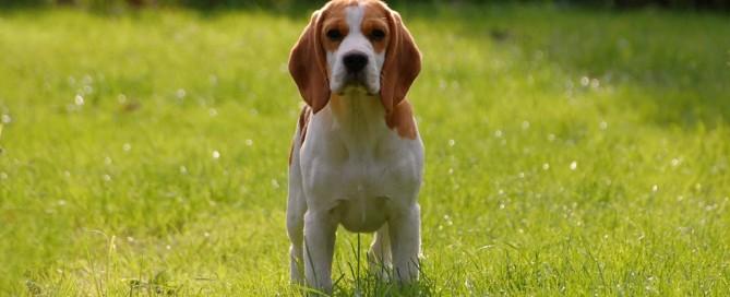 Beagle schaut in die Kamera.