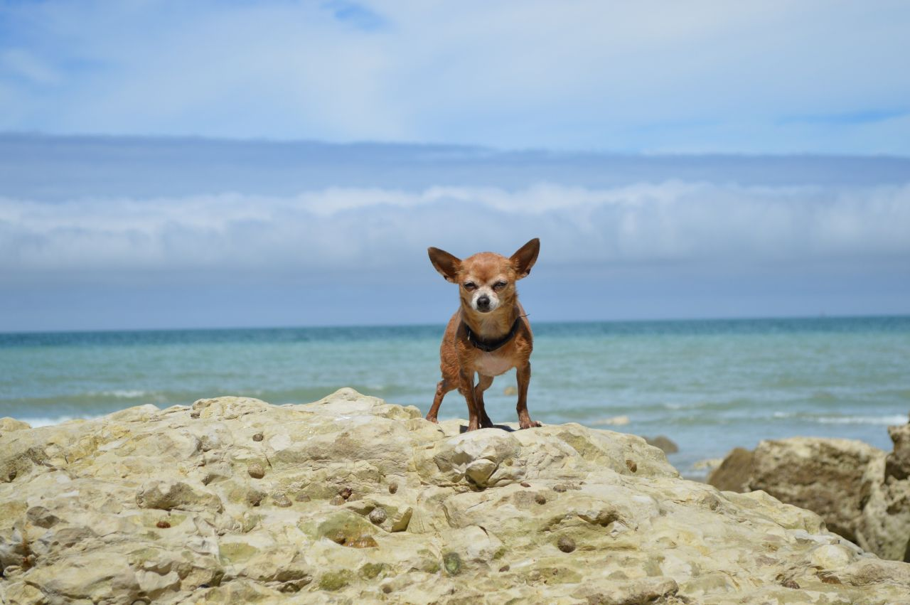 Chihuahua steht auf dem Felsen vor dem Meer.