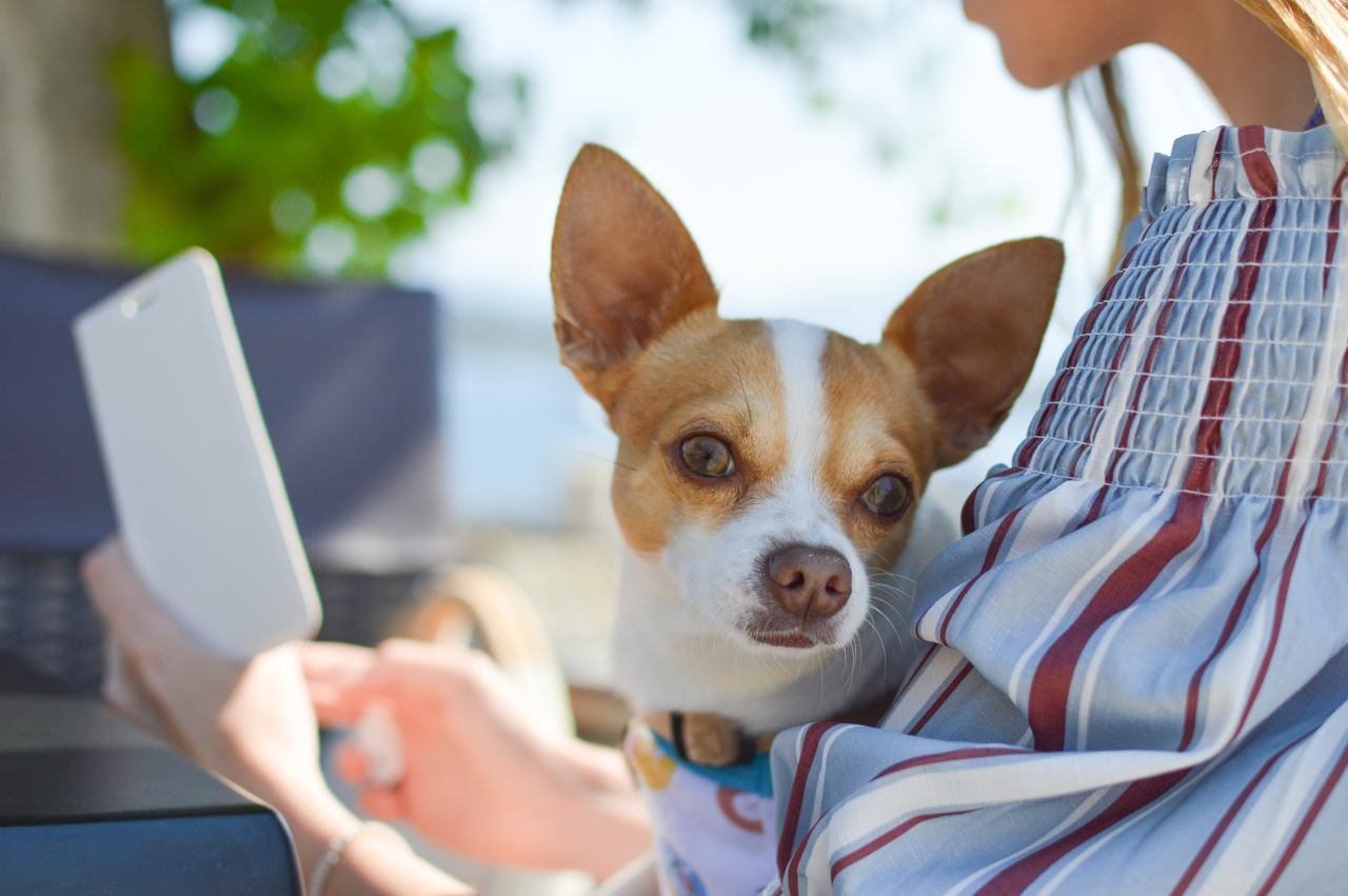 Chihuahua liegt im Arm und schaut in die Kamera.