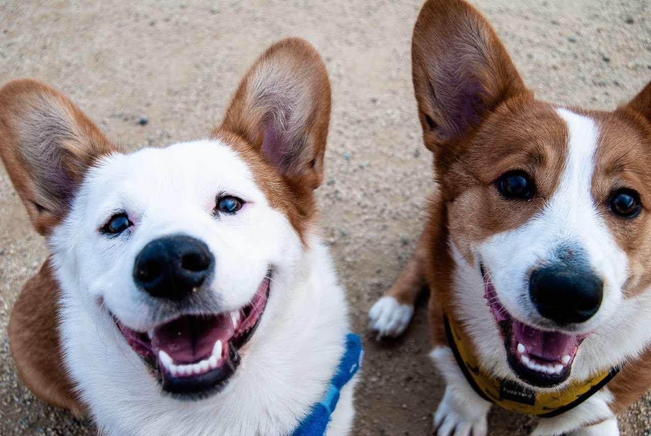Zwei Hunde gucken in die Kamera.