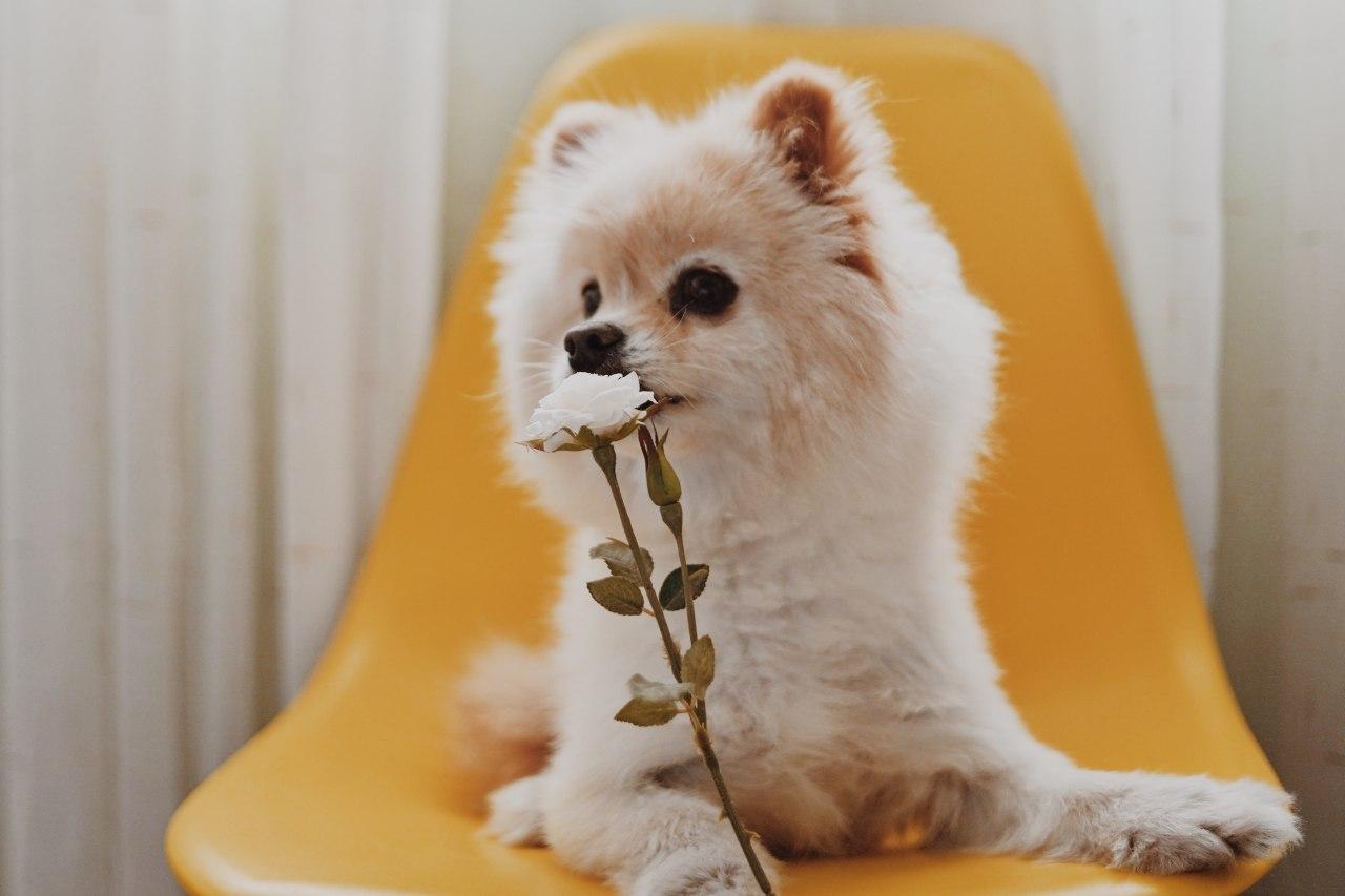 Pomeranian riecht an einer Blume.