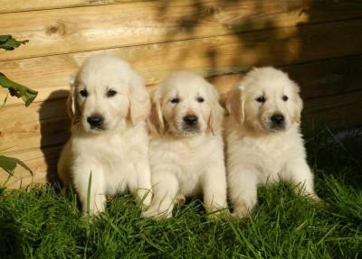 Drei Hundewelpen gucken in die Kamera.