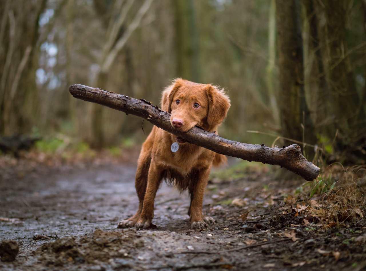 Kleiner Hund im Wald mit einem Stock im Mund.