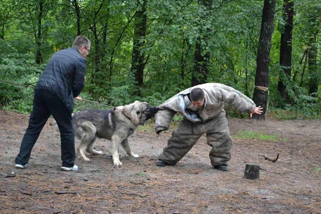 Kampfhund greift Hundetrainer an.