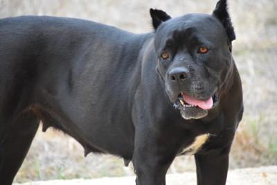 Schwarzer Hund schaut in die Kamera.