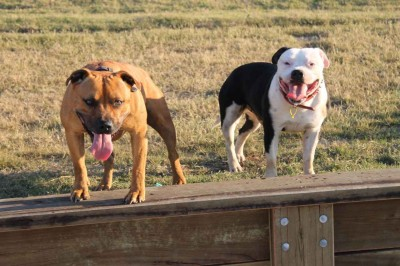 Zwei Listenhunde gucken in die Kamera.