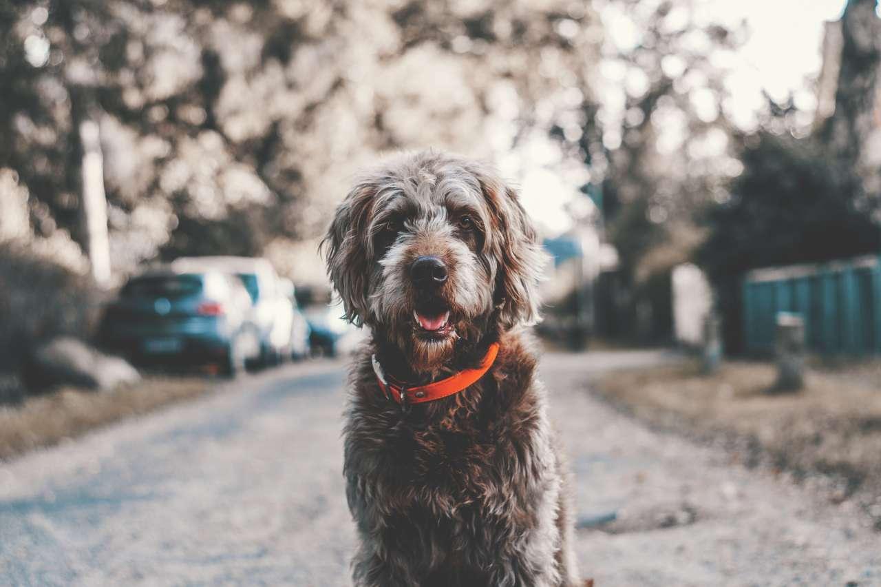 Hund sitzt vor der Kamera in Straßengasse.